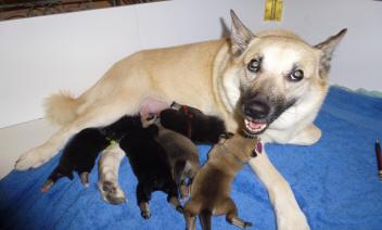Norwegian Buhund Puppies Jotunn Buhunds C Litter