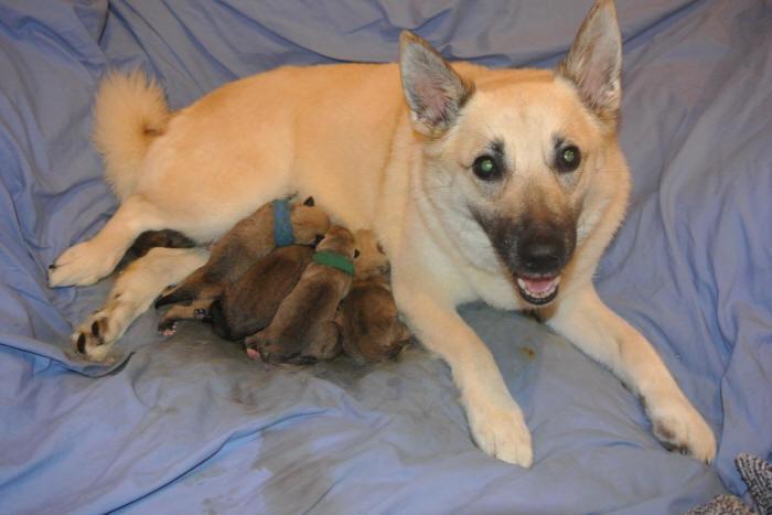 Norwegian Buhund Puppies Jotunn Buhunds D Litter