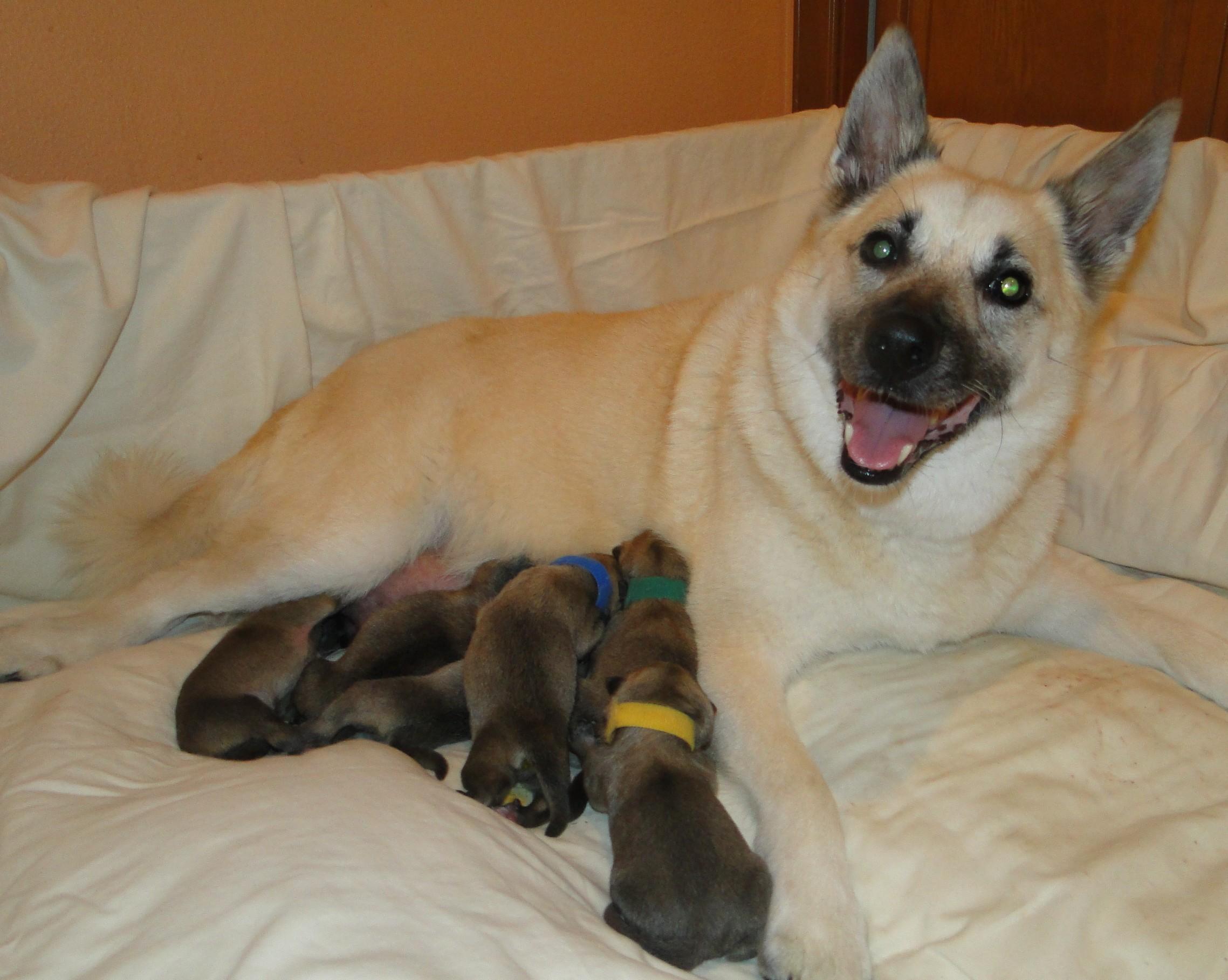 Norwegian Buhund Puppies Jotunn Buhunds G Litter